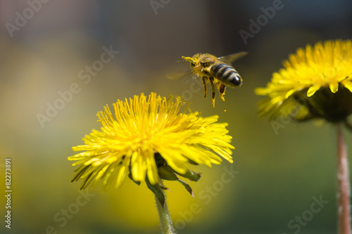 Foto op Aluminium Bee bee in flower