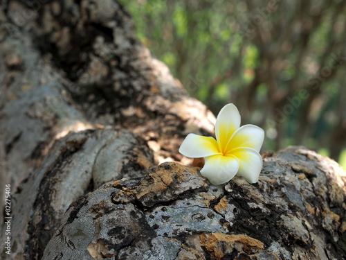 Poster Frangipani White plumeria on the trunk of plumeria tree