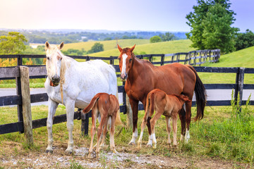Mother horses with colts