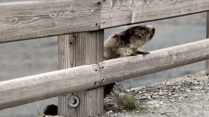 Marmot observing