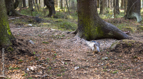 Deurstickers Eekhoorn Nothern squirrel in pine forest