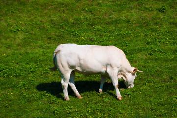 Vache Béarnaise.