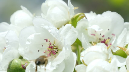 Ultra HD 4 k. Bee on flower