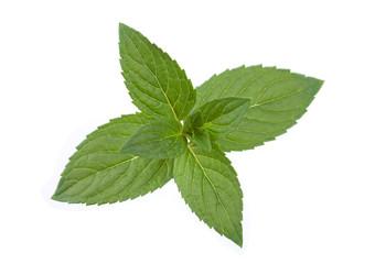 Peppermint leaf colseup on white