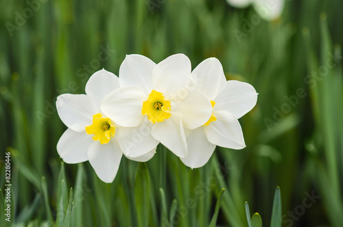 Staande foto Narcis Three white narcissus with yellow middle