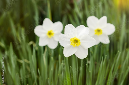 Papiers peints Narcisse Three narcissus with yellow middle