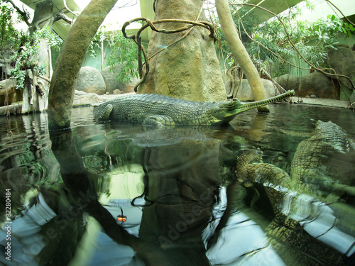 Foto op Plexiglas Krokodil Gavialis gangeticus