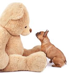 französische Bulldogge mit Teddybär