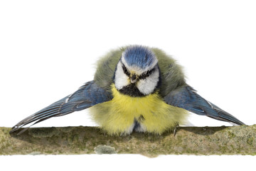 Perched blue tit looking ahead with wings spread on white