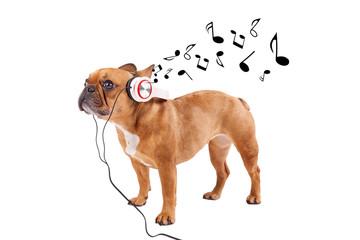 Bulldogge mit Musikkopfhöreren