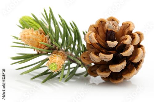 Tuinposter Bomen Pine cone