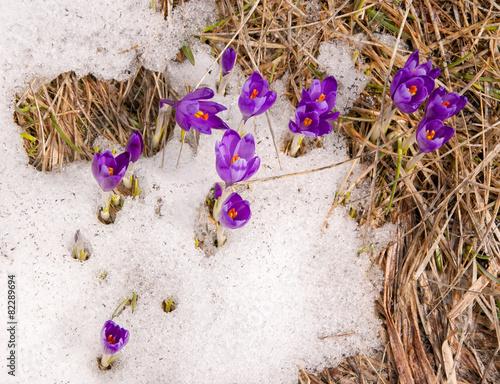 Foto op Canvas Krokussen Крокусы в снегу