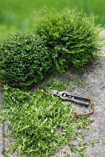 Formschnitt Lonicera nitida, Immergrüne Heckenkirsche - 82290486