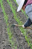 raking of garlic plantation