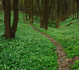Trail in blossoming green forest, spring nature background