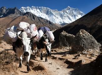 White Yak and mount Lhotse - Nepal