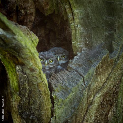 In de dag Uil Little Owl (Athene noctua)