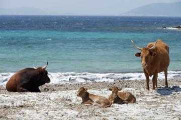 Mucche in spiaggia in una giornata estiva