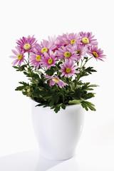 Pink Chrysanthemen im weissen Blumentopf, Freisteller