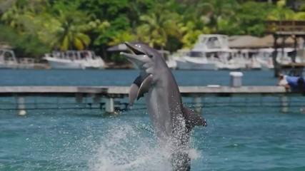 Tracking medium shot of dolphin performing at water show / Roatan, Honduras, Central America,