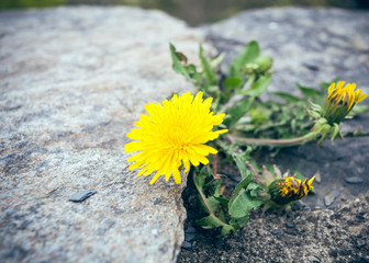 Dandelion on rocks