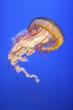 Jellyfish (Chrysaora fuscescens or Pacific sea nettle) - 82312470