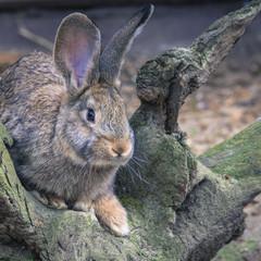 Wild rabbit