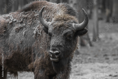 In de dag Bison Wisent, European bison, Poland