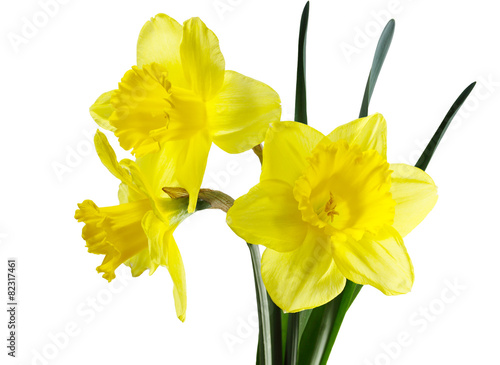 Poster Narcis Daffodil Flowers