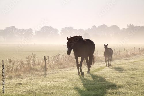 horses walk on misty pasture © Olha Rohulya