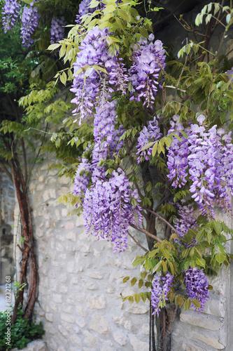 Cascading purple wisteria vine