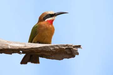 White fronted bee eater sitting on branch to hunt for insects