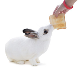white rabbit on white isolated try to snatch a bread from hand
