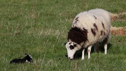 Jacob Ewe and Lambs