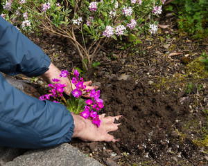 Man Planting Flowers in a Flower Bed