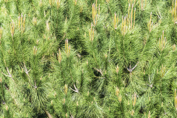Background conifers