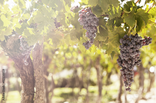 Grapes in Vineyard in Mendoza, Argentina