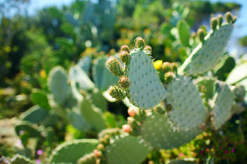 Blooming cactuses of Sardinia
