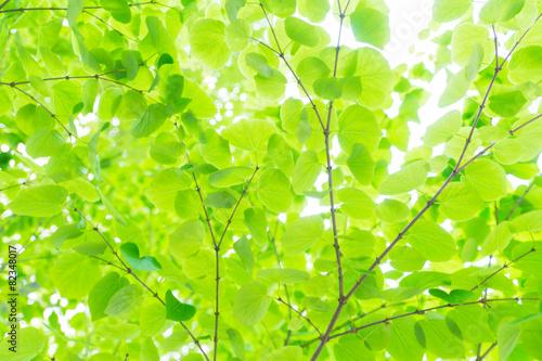 カツラの葉