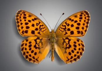 Butterfly. Butterflies