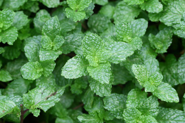Peppermint,Marsh Mint in vegetable garden