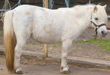 poney blanc