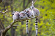 group on a tree Ring-tailed Lemur, Lemur catta,