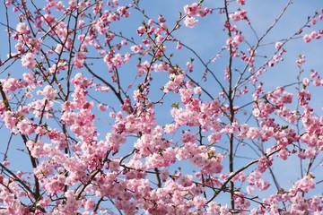 kirschblütenzweige mit himmel im hintergrund