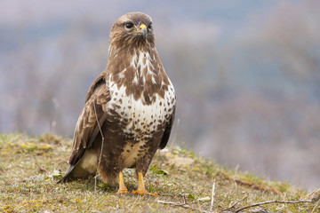 Common buzzard (Buteo buteo) perched on the floor. Spain