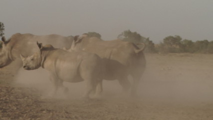 A very angry rhino runs after another in a fight.