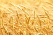 Wheat field - 82380474