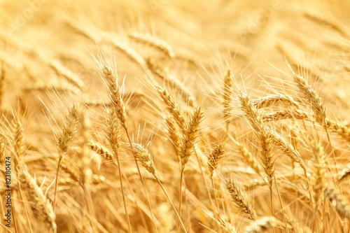 Wheat field - 82380474