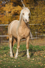 Amazing welsh mountain pony stallion in autumn