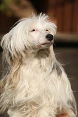 Beautiful white chinese crested dog